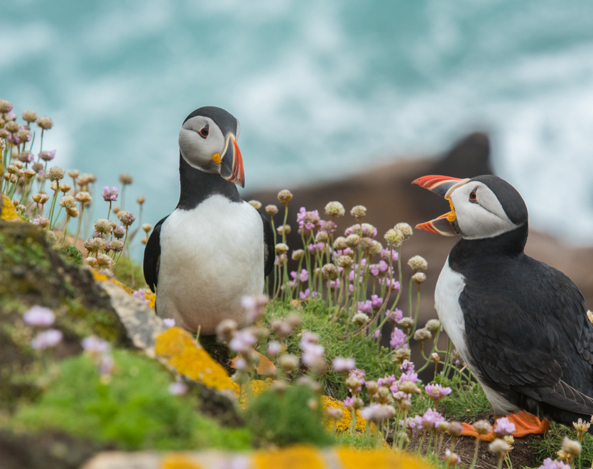 Puffin birds talk on Saltee Island Great